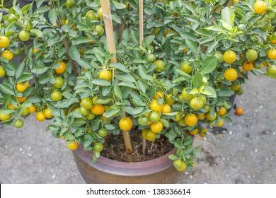 Kumquats, cumquats, Tound, Marumi kumquat or Morgani kumquat