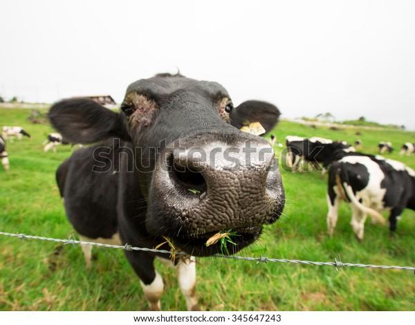Kundasang,Sabah,Malaysia-November 28,2015:Cattle reared commercially in Desa Dairy Farm, Kundasang,Sabah,Malaysia
