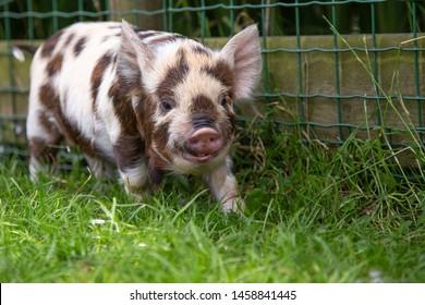 Kunekune piglet walking in the grass