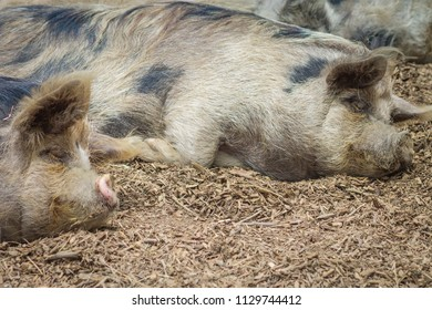 The kunekune, is a small breed of domestic pig from New Zealand