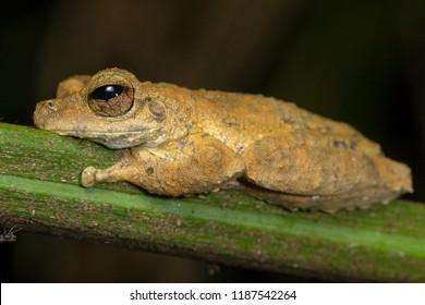 Kuranda tree frog (Litoria myola), a critically endangered species of frog restricted to Kuranda in far North Queensland, Australia.