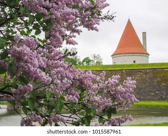 Kuressaare castle tower behind a blooming syringa (lilac)