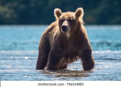 Kurile Lake bear. Russia, Kamchatka Peninsula