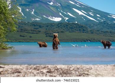 Kurile Lake bear. Russia, Kamchatka Peninsula