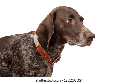 Kurtshaar. Hunting dog. An image of an animal on a white background. Image isolated.