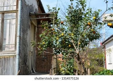 Kutaisi, Georgia - September 27, 2018: House with persimmon tree next to it