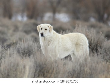 Kuvasz breed of sheep dog
