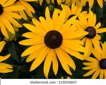 Kvetiny Zluta Zahrada - Shutterstock ID 1135310657