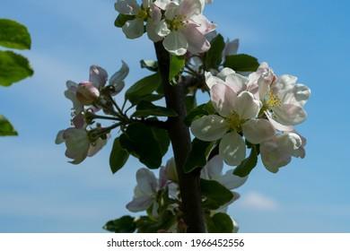 Kvety jabĺk kvitnú na jar. Modrá obloha v pozadí. Detailná fotografia. - Shutterstock ID 1966452556