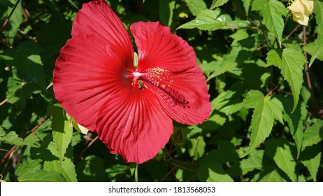 Červené kvety rastliny Hibiscus moscheutos - Rose mallow. - Shutterstock ID 1813568053
