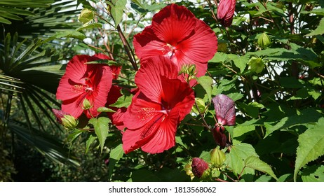Červené kvety rastliny Hibiscus moscheutos - Rose mallow. - Shutterstock ID 1813568062
