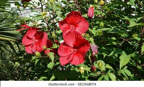 Červené kvety rastliny Hibiscus moscheutos - Rose mallow. - Shutterstock ID 1813568074