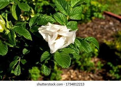 Biały kwiat rośnie na krzaku - Shutterstock ID 1734812213