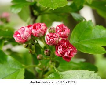 kwiatostany rosliny krzewu o nazwie głóg rosnacy w parku miasta bialystok na podlasiu w polsce - Shutterstock ID 1878731233