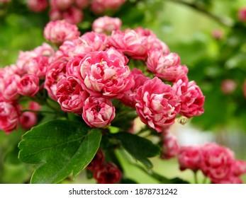 kwiatostany rosliny krzewu o nazwie głóg rosnacy w parku miasta bialystok na podlasiu w polsce - Shutterstock ID 1878731242
