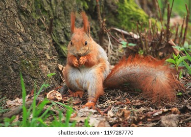 Kyiv, Pushcha-Voditsa - April 15, 2018: Squirrel eating a nut