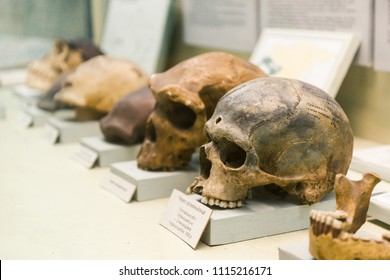 KYIV, UKRAINE - JUNE 16, 2018: National Museum of Natural Sciences of Ukraine. Human skull evolution, nature theory. Archeology skeleton, previous homo bones, dead man. Anatomy ancestor.