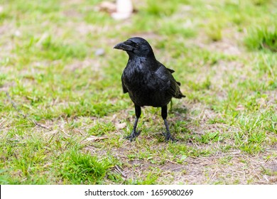 Kyoto Gyoen Japan near Imperial Palace in Kyotogyoen with closeup of one large raven crow black bird