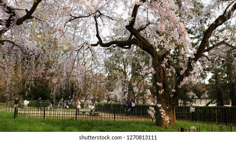 Kyoto Imperial Palace Park( Kyoto Gyo-en),Kyoto,Japan - March 25,2016  People enjoy cherry blossom viewing at Kyoto Imperial Palace Park( Kyoto Gyo-en).