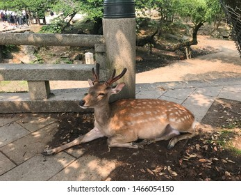 Kyoto, Japan, 31st, May, 2017. The lovely deers is lying on the ground in Nara Park. Nara Park is a public park located in the city of Nara, Japan, at the foot of Mount Wakakusa.