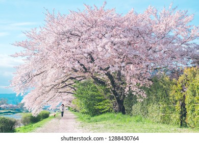 Kyoto, Japan - April 8, 2015: Kamogawa River is a famous scenic of Cherry Blossom in Kyoto City, Japan.