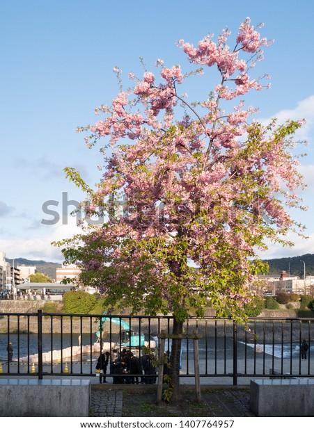 Kyoto, Japan - March 16, 2019: Kawazu sakura tree in full bloom near Sanjo bridge in central Kyoto in mid-march
