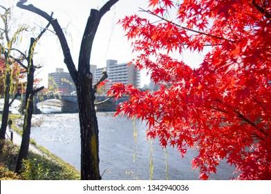Kyoto, Japan - November 30, 2013: Red Japanese momiji maple tree near Kamogawa river
