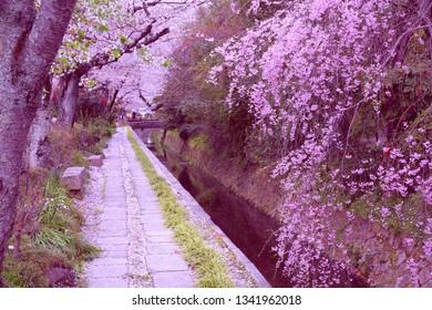 Kyoto, Japan - Philosopher's Way, a walkin path famous for its cherry blossom (sakura).