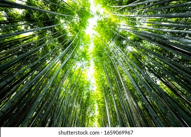 Kyoto, Japan wide angle view looking up of Arashiyama bamboo forest park pattern of many plants on spring day with green foliage color