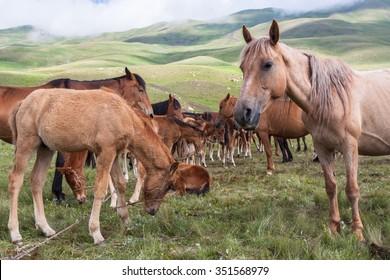Kyrgyz horses in Teskey Ala-Too, Tian Shan Mountains in Kyrgyzstan