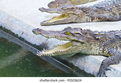 A l crocodile waiting foods from tourist