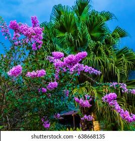 La Fortuna, Costa Rica - April 4, 2017:  Purplr flower Bougainvillea are also known as bugambilia bouganvilla, pokok bunga kertas, jahanamiya, veranera, trinitaria, Santa Rita, or papelillo.