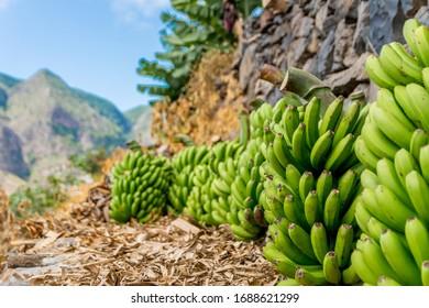 La Gomera, Canary Islands, banana plantation