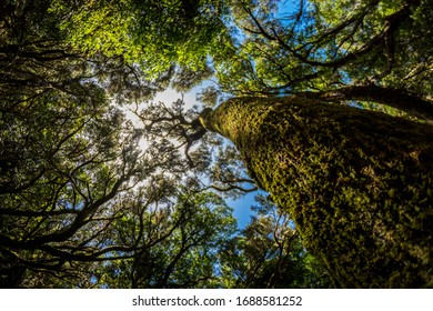 La Gomera, Canary Islands, Garajonay forest, tree crown looking up at the sky