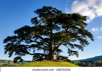 LA MORRA, ITALY - MAY 1, 2017 - Secular cedar of Lebanon in La Morra, Italy, on may 1, 2017. The tree was planted in 1856 and now is the symbol of the vineyards of Monfalletto