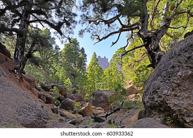 La Palma, Canary Islands insight into the tops of the pine trees in the national park