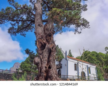 la Pina, the oldest tree, a Canarian pine, on La Palma (Canary Island). A huge tree juts into the blue sky, next to it a pilgrimage church, it looks tiny next to this tree.