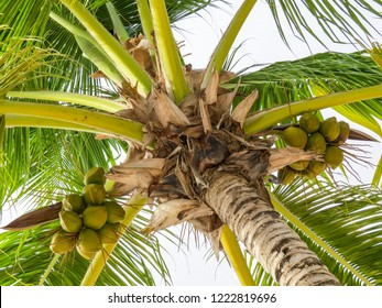 La Romana, Dominican Republic - close-up of the palm and its coconuts of a typical tropical island of the caribbean