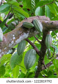 La Romana, Dominican Republic - Cocoa pods growing from tree of a typical tropical island of the caribbean