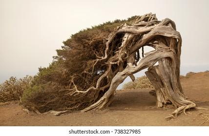 La Sabina, The Juniper tree, wind-shaped juniper tree growing in the area called El Sabinal.