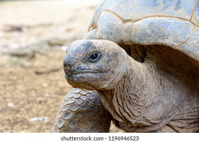 La Vanille Nature Park, Mauritius island - November 1, 2017: Big turtle after feeding in La Vanille Nature Park on the island of Mauritius.