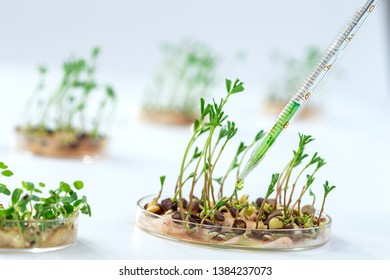 Lab assistant adding pesticides to sprouted grains to accelerate development.Genetically modified plant tested in petri dish.