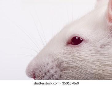 lab rat's head in profile, closeup
