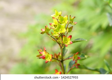 Labisia pumila flower or Kacip Fatimah  is a herb that is native to Malaysian rain forests, in which it's believed to contain benefits relating to women's health. selective focus