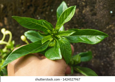 Labisia pumila flower or Kacip Fatimah on hand is a herb that is native to Malaysian rain forests, in which it's believed to contain benefits relating to women's health. selective focus