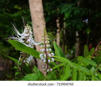 Labisia pumila or 'Kacip Fatimah' is a small rainforest leafy herbs plant contain medicinal substances traditionally used for enhancing women vaginal muscles and libido.