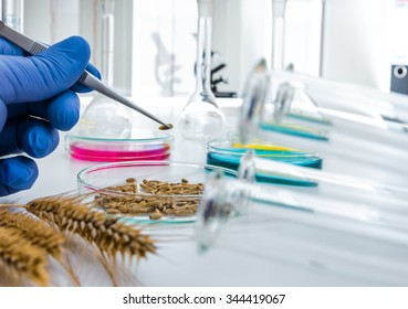 Laboratory assistant in the laboratory of of food quality.Cell culture assay to test genetically modified seed