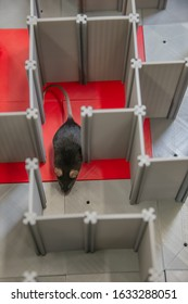 Laboratory black mouse is navigating in a plastic labyrinth in lab experiments to study spatial learning and memory