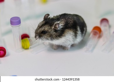 Laboratory hamster on the background of reagents