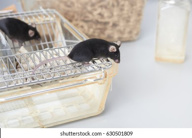 Laboratory mice on top of the standard cage in animal facility